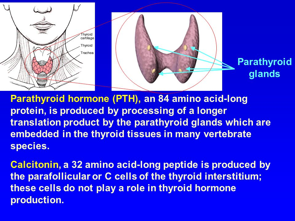 Parathyroid glands.