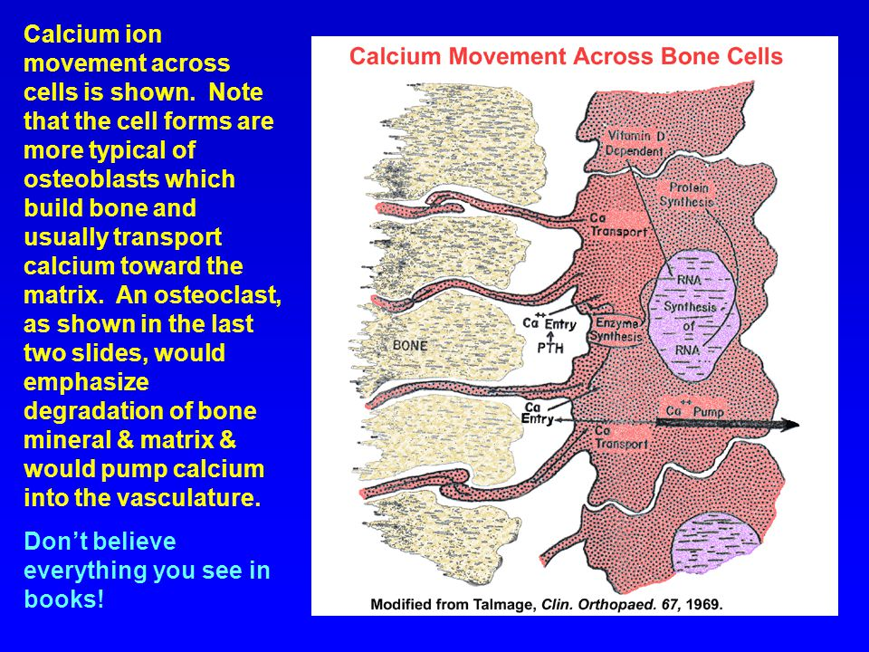 Calcium ion movement across cells is shown
