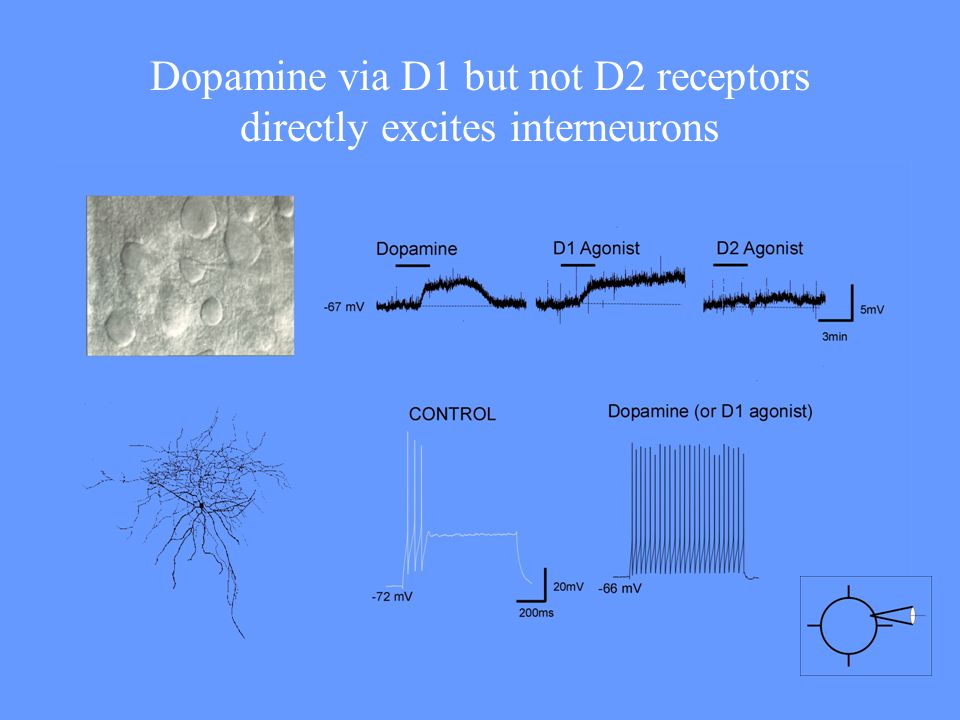 Dopamine via D1 but not D2 receptors directly excites interneurons