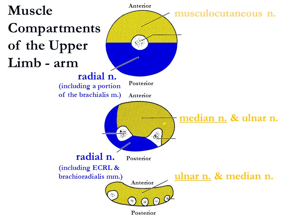 Muscle Compartments of the Upper Limb - arm
