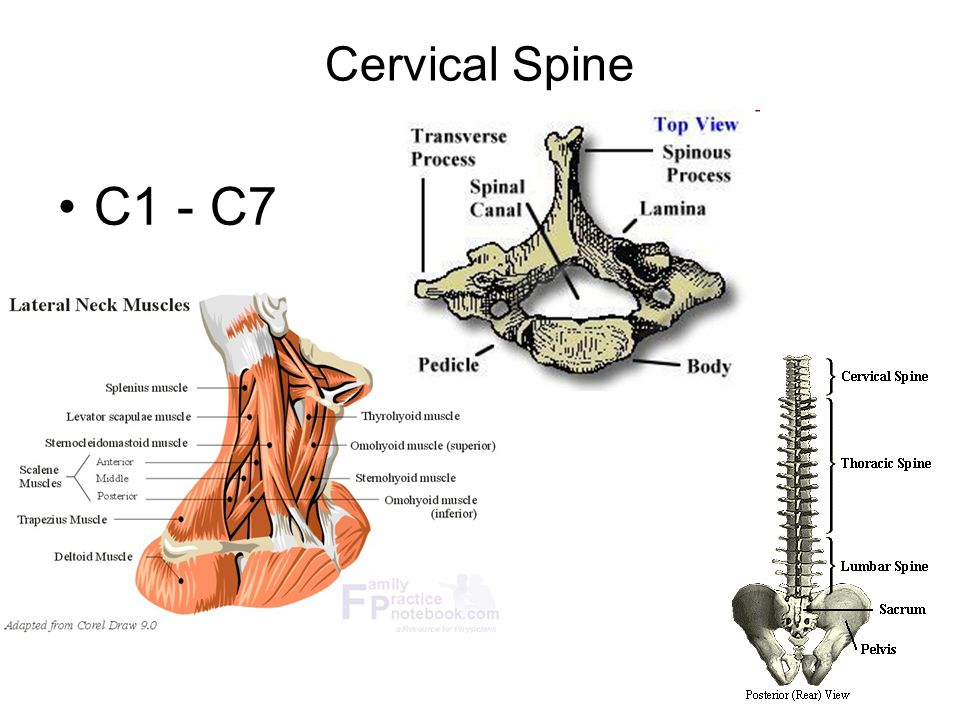 C1 C7 Cervical Diagram - Find Wiring Diagram •