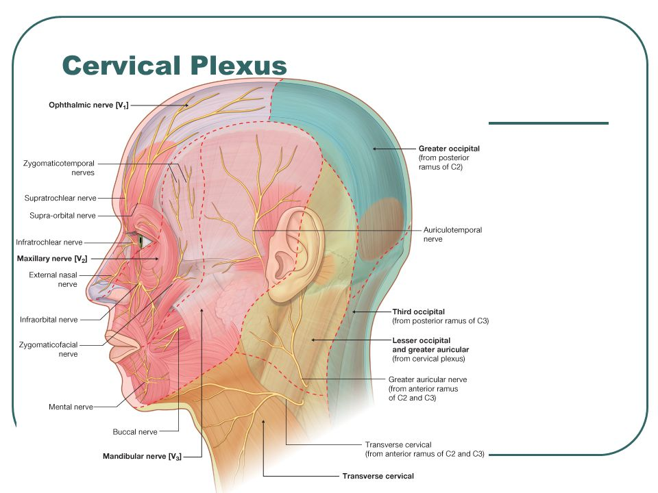 Soft Tissue of the Back  - ppt video online download