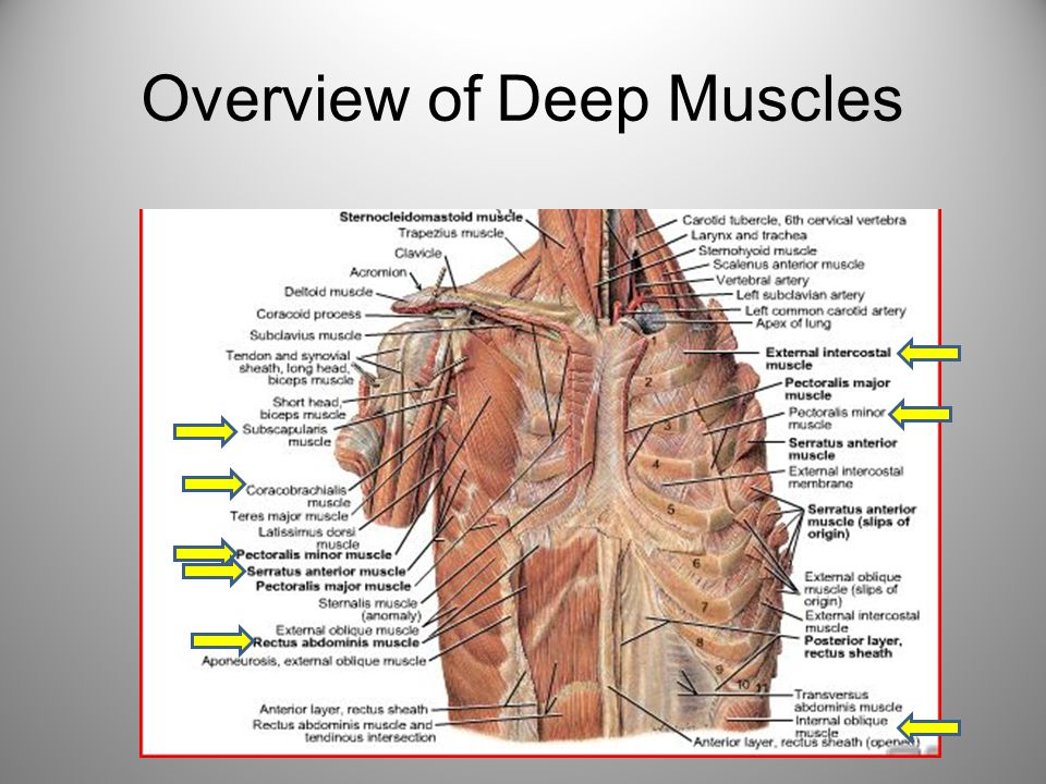 Deep Muscles of the Thorax, Anterior Upper Arm, and Abdomen - ppt ...
