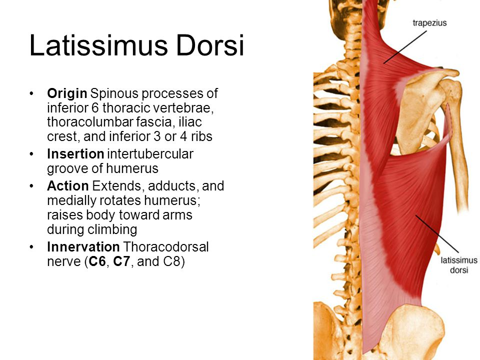 Latissimus Dorsi Origin Spinous processes of inferior 6 thoracic vertebrae, thoracolumbar fascia, iliac crest, and inferior 3 or 4 ribs.