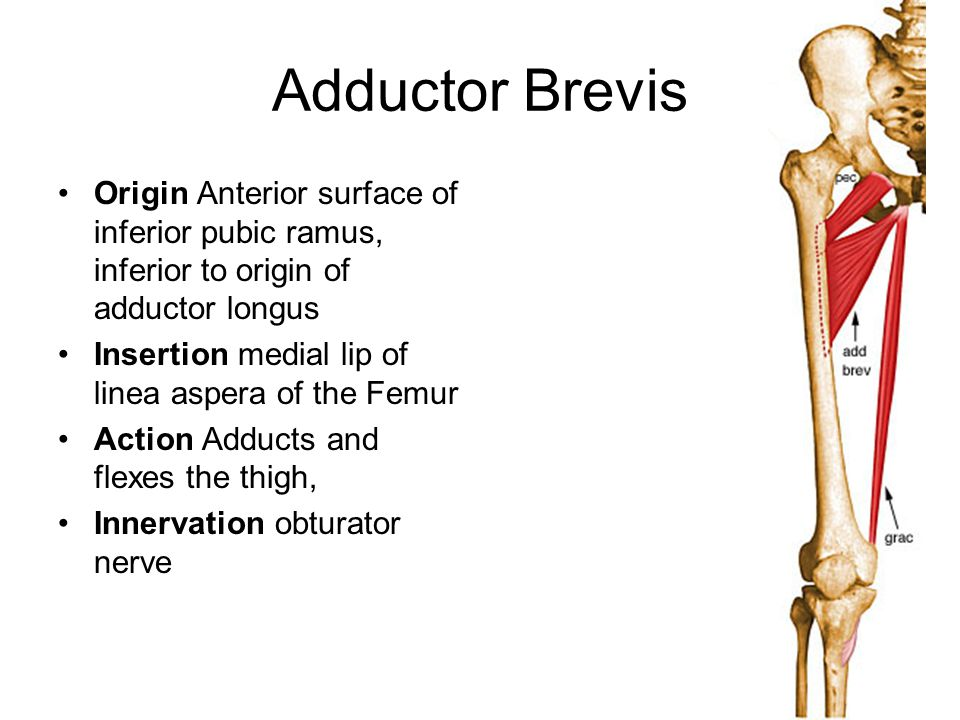 Adductor Brevis Origin Anterior surface of inferior pubic ramus, inferior to origin of adductor longus.