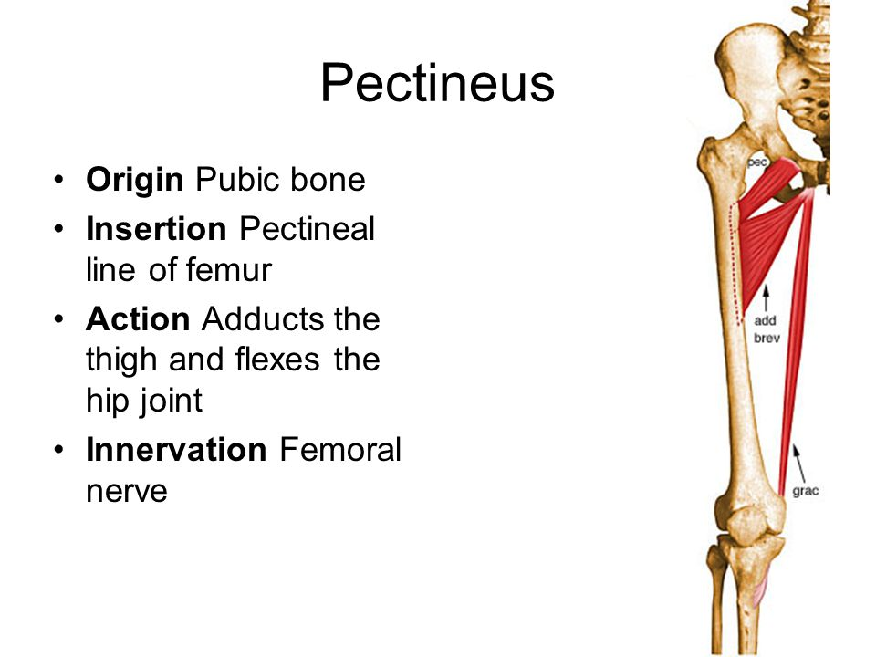 Pectineus Origin Pubic bone Insertion Pectineal line of femur
