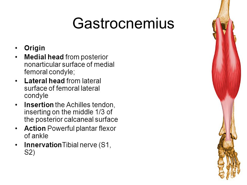 Gastrocnemius Origin. Medial head from posterior nonarticular surface of medial femoral condyle;