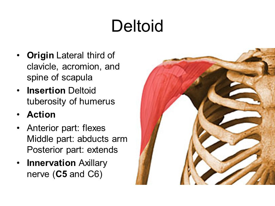 Deltoid Origin Lateral third of clavicle, acromion, and spine of scapula. Insertion Deltoid tuberosity of humerus.