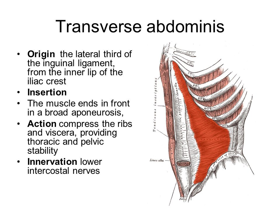 Transverse abdominis Origin the lateral third of the inguinal ligament, from the inner lip of the iliac crest.