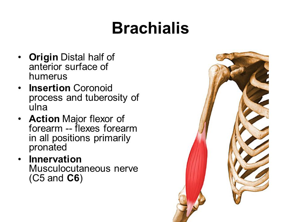 Brachialis Origin Distal half of anterior surface of humerus