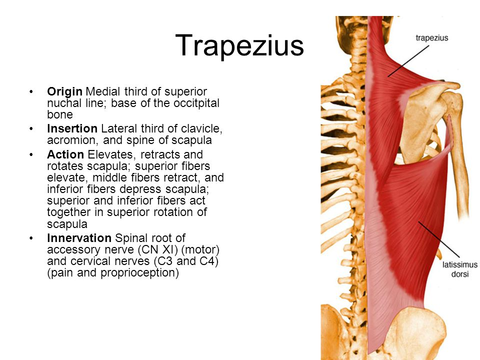 Trapezius Origin Medial third of superior nuchal line; base of the occitpital bone.