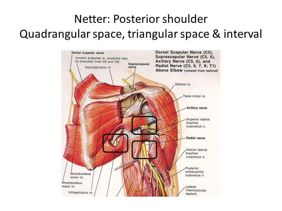 Contemporary Quadrangular Space Anatomy Pattern Anatomy And
