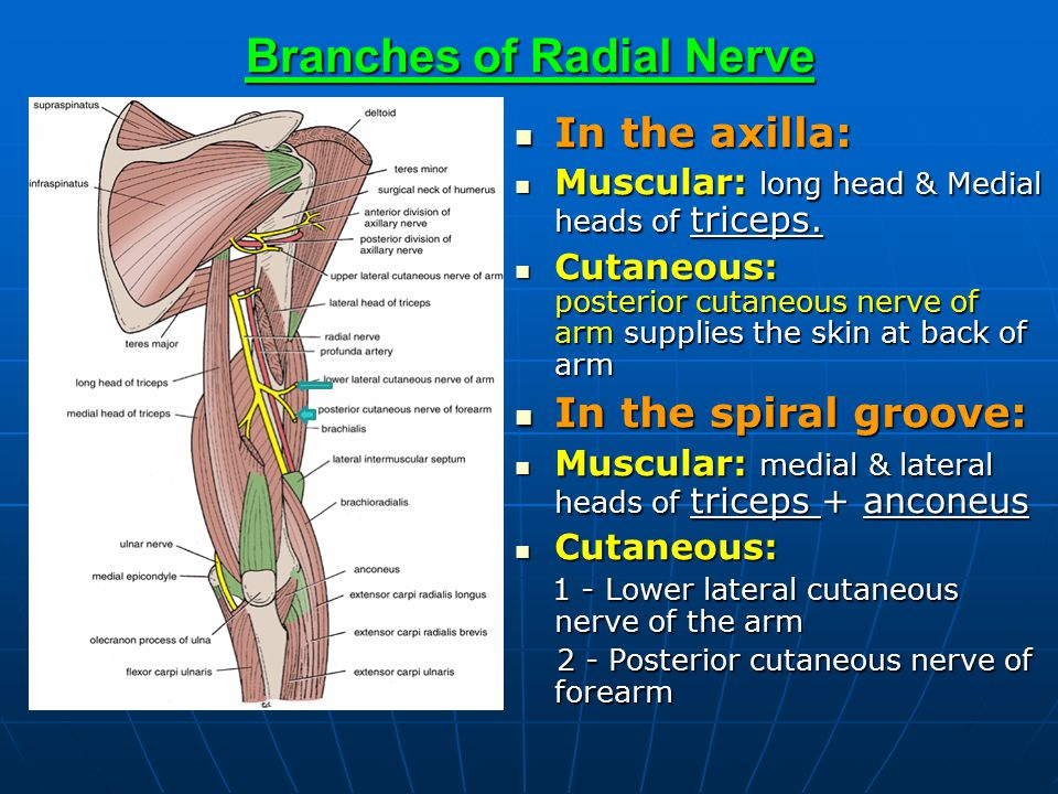 Brachial Plexus & Radial Nerve - ppt video online download
