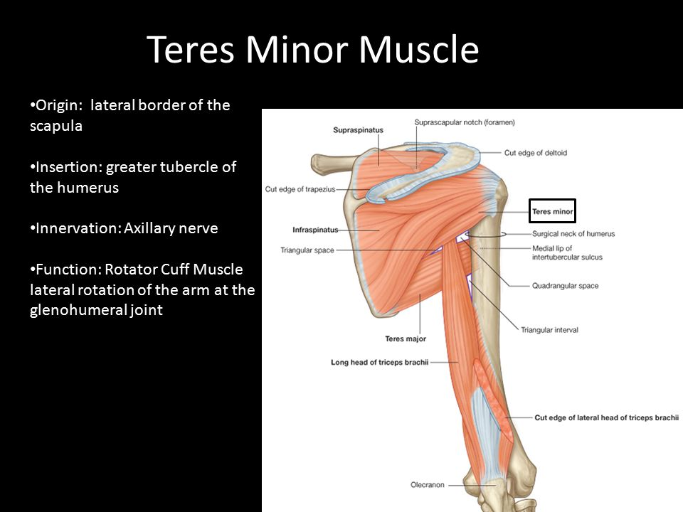Teres Minor Muscle Origin: lateral border of the scapula