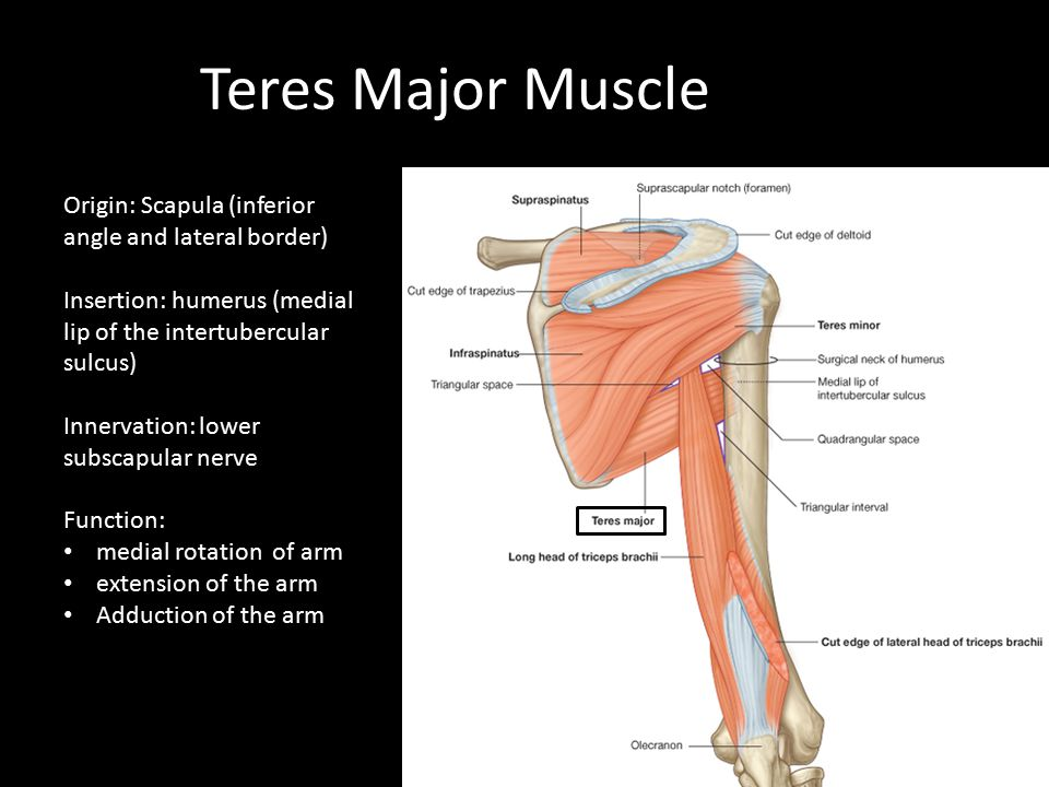 Teres Major Muscle Origin: Scapula (inferior angle and lateral border)