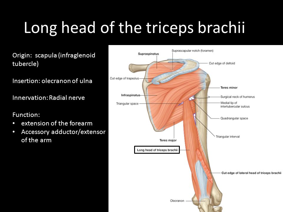 Long head of the triceps brachii