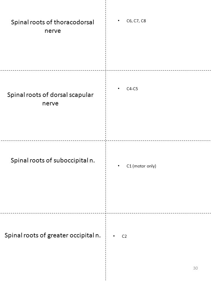 Spinal roots of thoracodorsal nerve