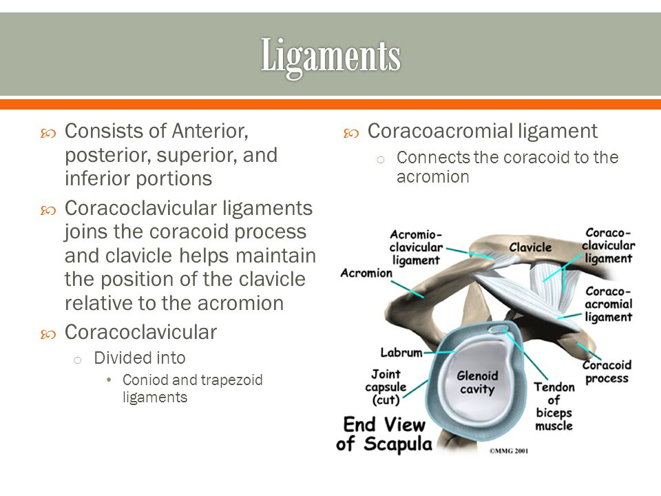 Ligaments Consists of Anterior, posterior, superior, and inferior portions.