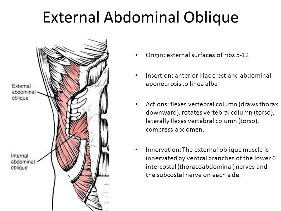 Fancy External Oblique Function Ensign - Anatomy And Physiology ...