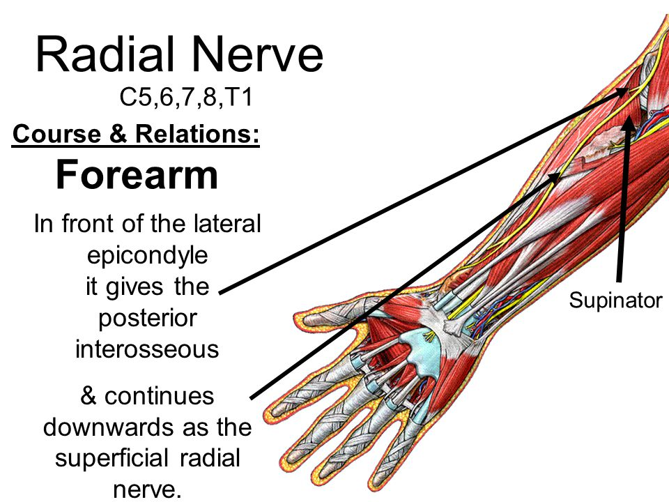 Modern Radial Nerve Anatomy Motif - Anatomy And Physiology Biology ...