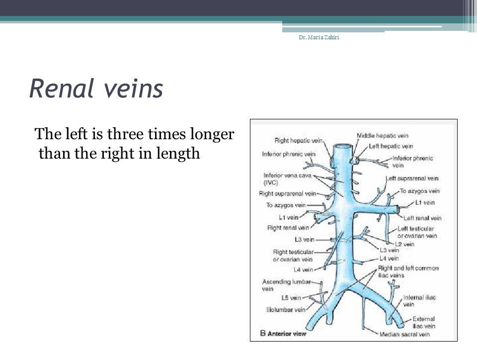 Renal veins The left is three times longer than the right in length
