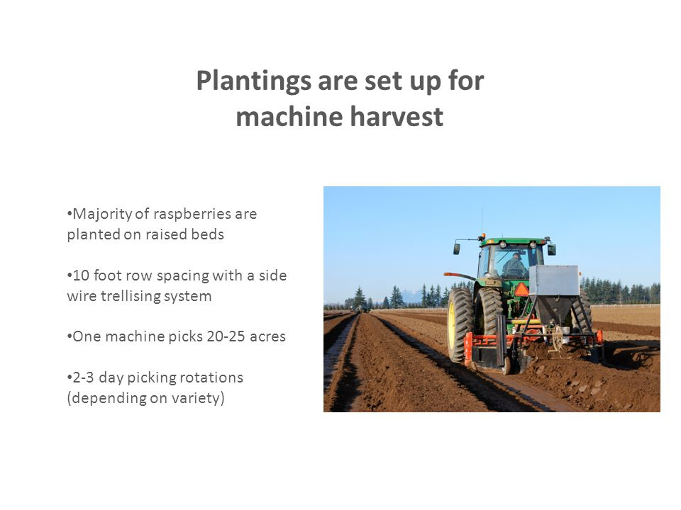 Plantings are set up for machine harvest