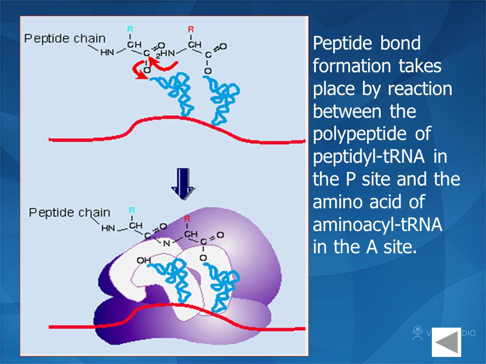 Peptide bond formation takes place by reaction between the polypeptide of peptidyl-tRNA in the P site and the amino acid of aminoacyl-tRNA in the A site.