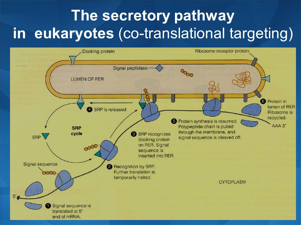 The secretory pathway in eukaryotes (co-translational targeting)