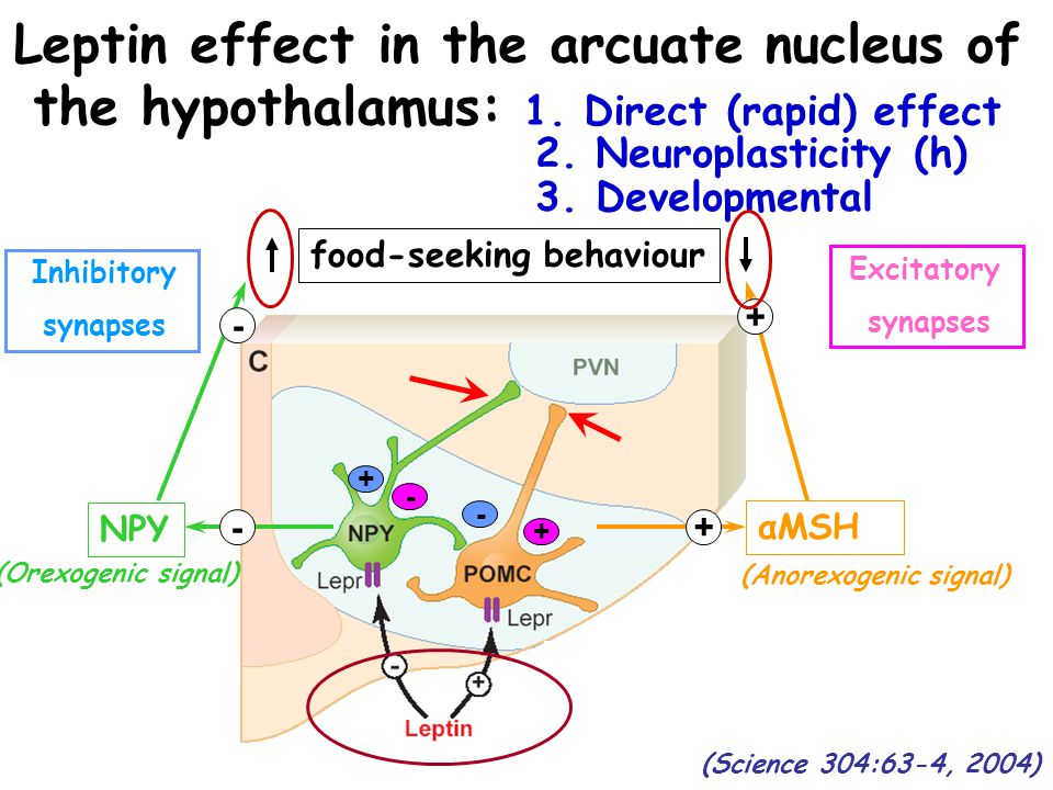 Leptin effect in the arcuate nucleus of the hypothalamus: 1