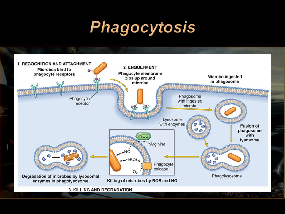 Phagocytosis