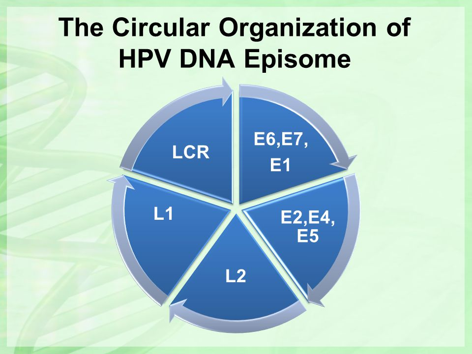The Circular Organization of HPV DNA Episome