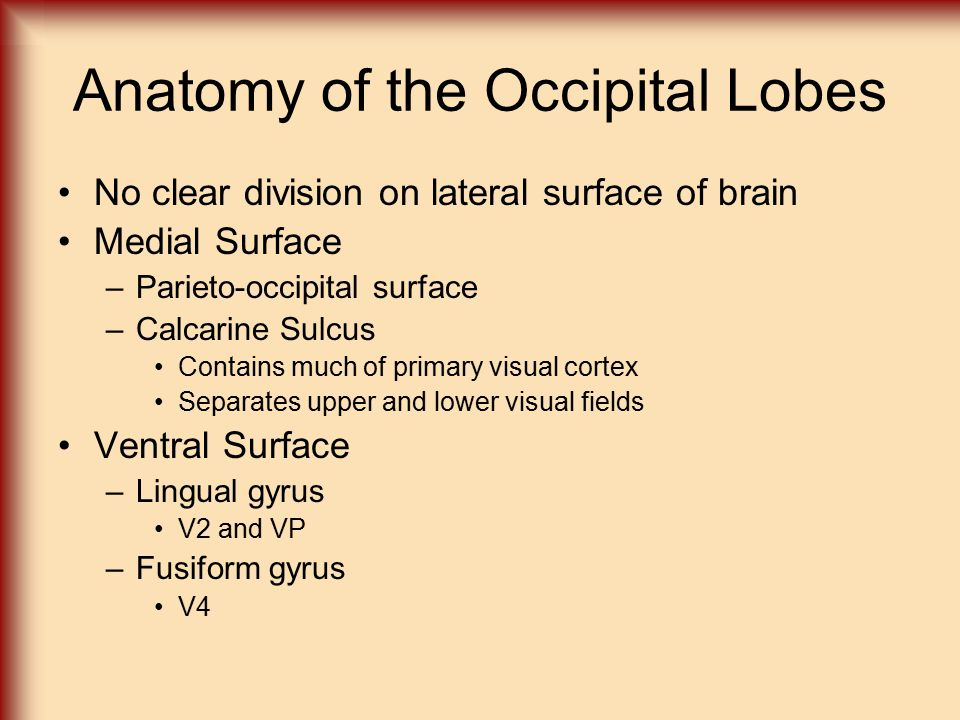 Anatomy of the Occipital Lobes