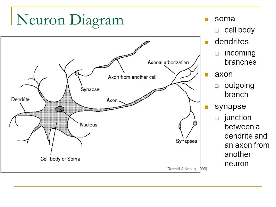 Neuron Diagram soma dendrites axon synapse cell body incoming branches