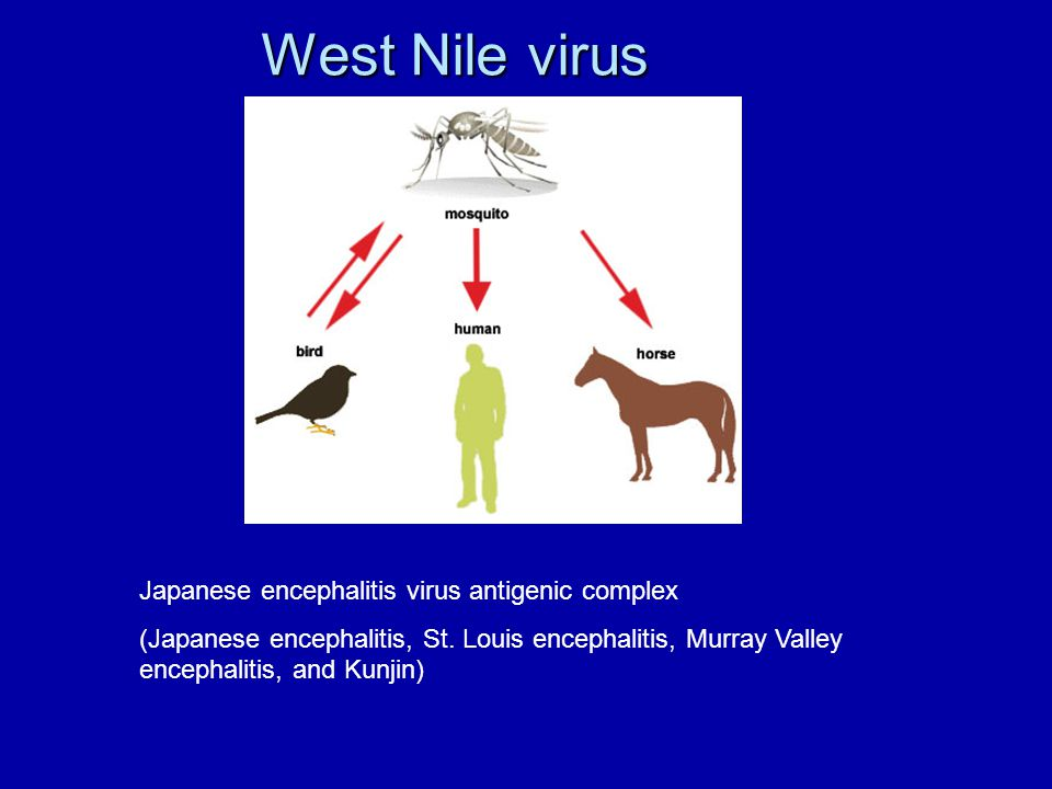 West Nile virus Japanese encephalitis virus antigenic complex