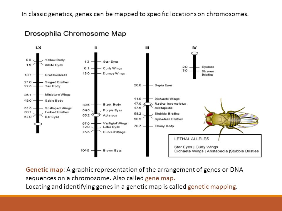 In classic genetics, genes can be mapped to specific locations on chromosomes.