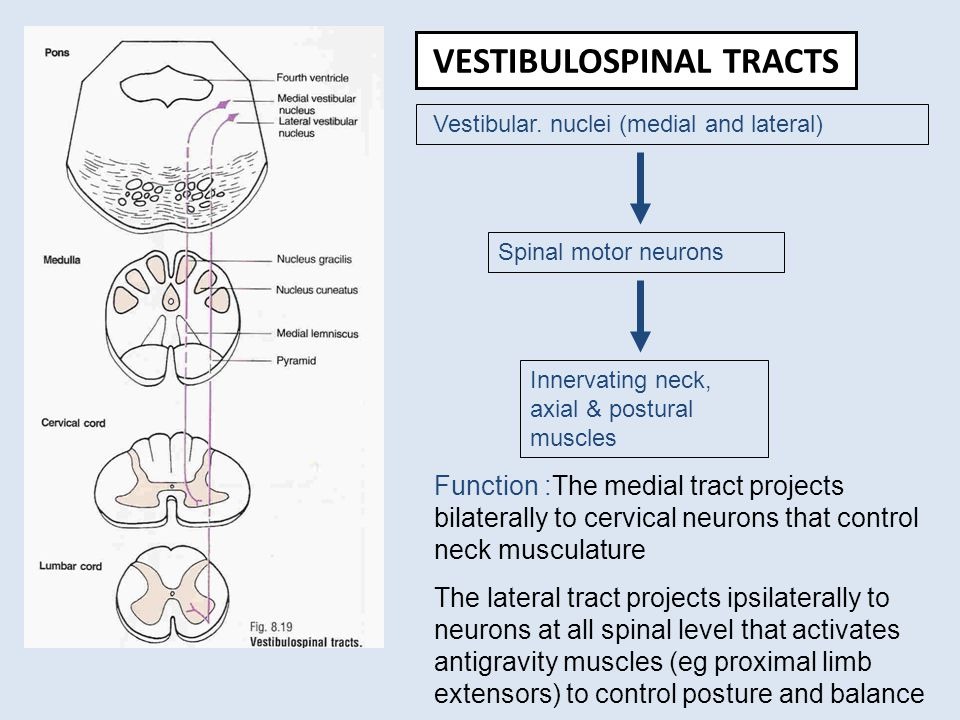 cortical motor areas and descending motor tracts