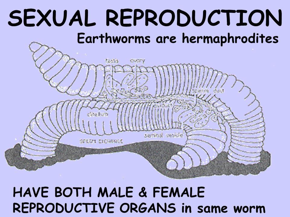 Old Fashioned Earthworm Internal Anatomy Gift - Internal organs ...
