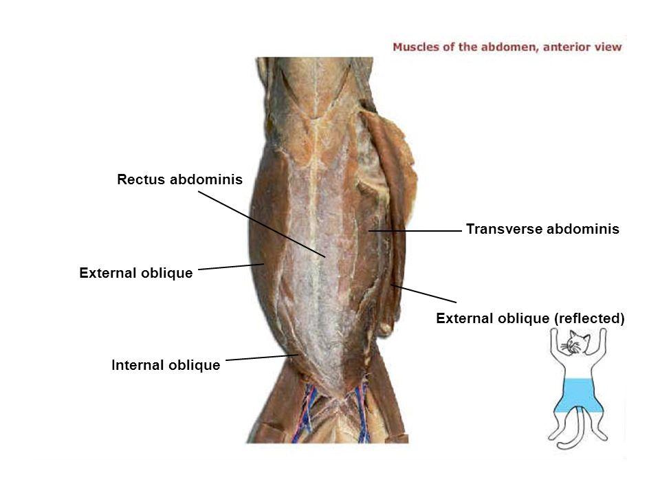 Pectoantebrachialis Tibialis anterior External oblique Gracilis ...