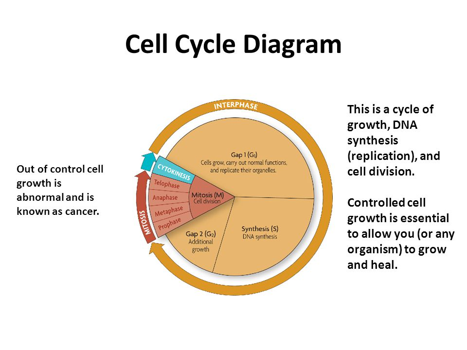 The Cell Cycle Section Ppt Download