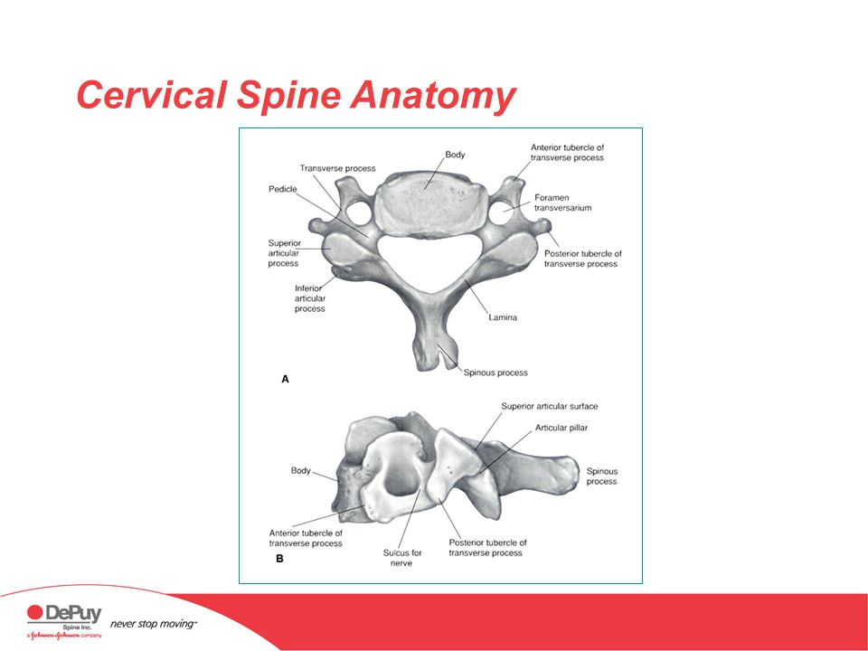 Anatomy of the Cervical Spine - ppt download