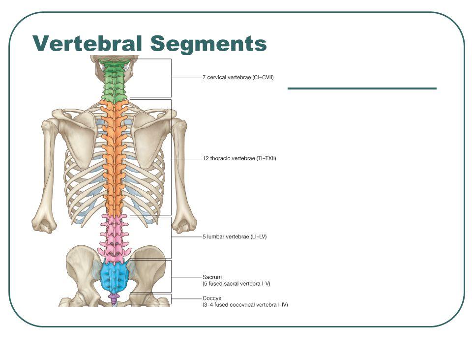 Vertebral Column. - ppt video online download