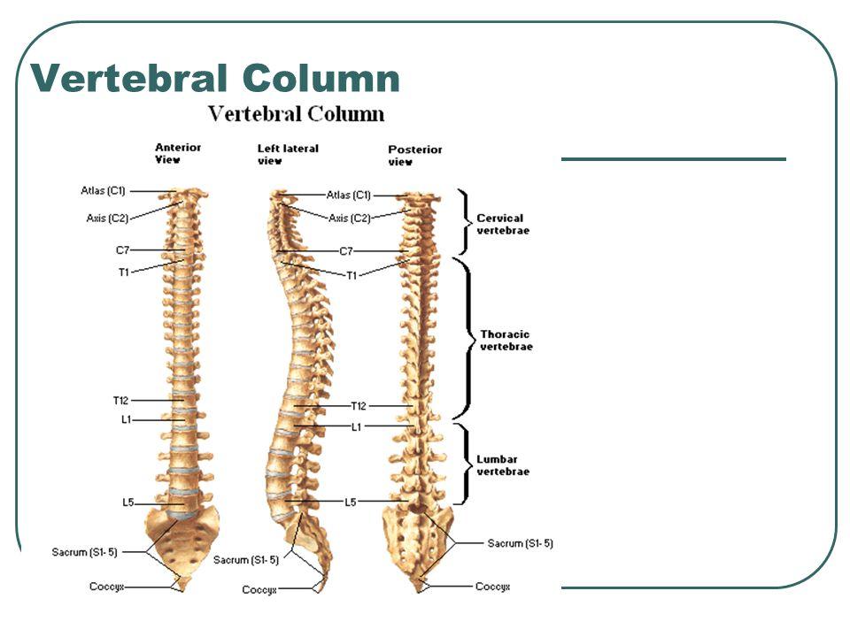 Vertebral Column Ppt Video Online Download