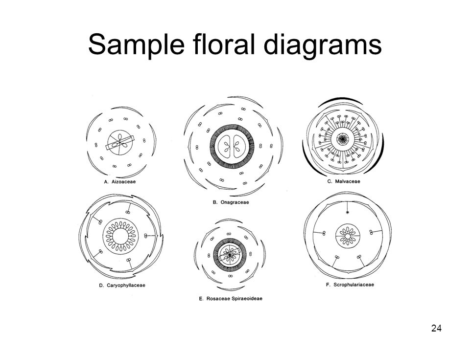 floral formulas and diagrams