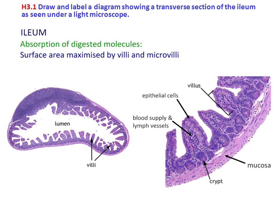 2 h3 1 draw and label a diagram showing a transverse section of the ileum  as seen under a light microscope