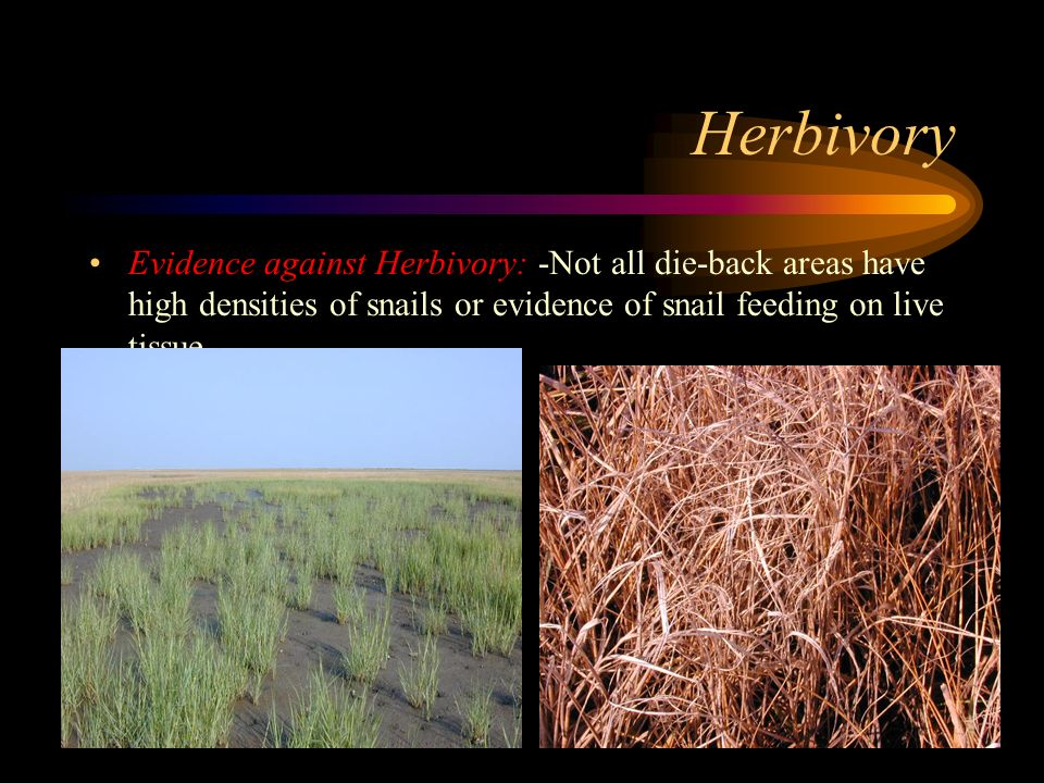 Herbivory Evidence against Herbivory: -Not all die-back areas have high densities of snails or evidence of snail feeding on live tissue.