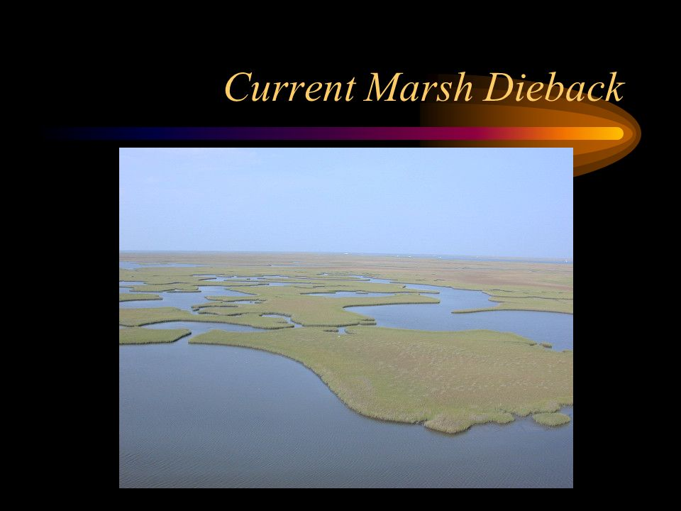 Current Marsh Dieback