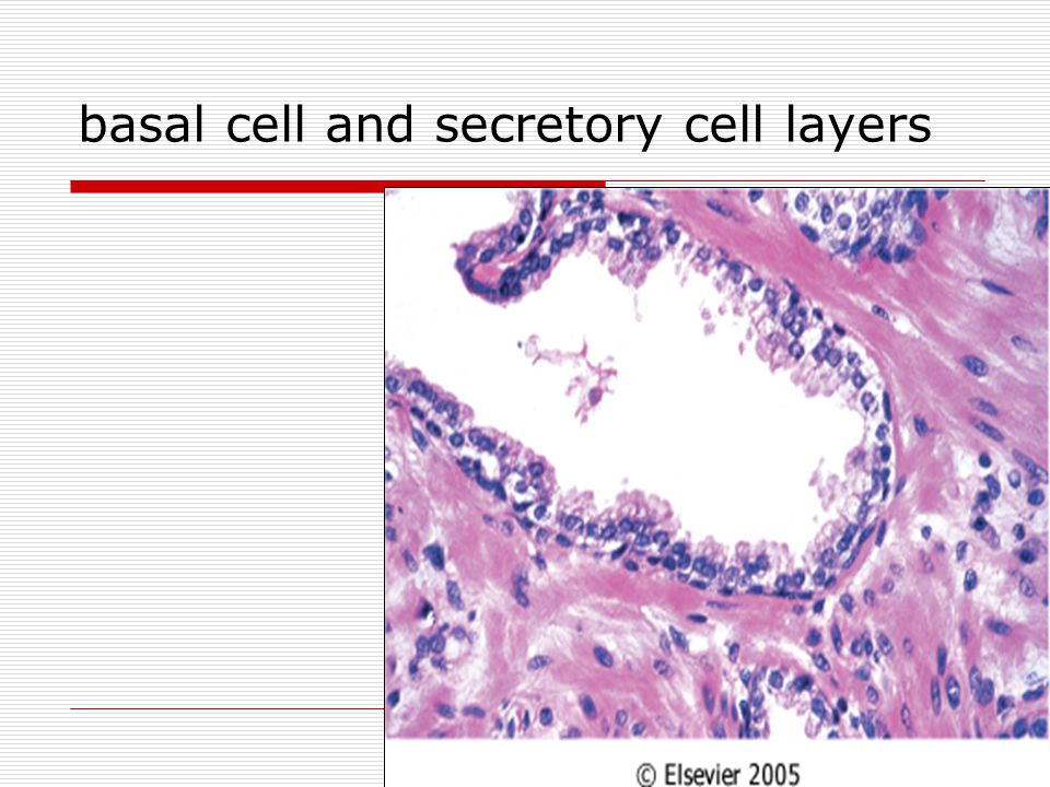 basal cell and secretory cell layers