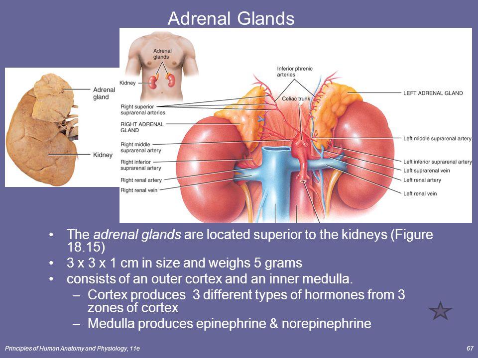 Anatomy Adrenal Gland Gallery Human Body Anatomy