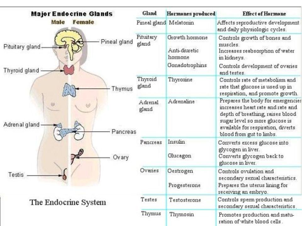 Endocrine (hormone) System - ppt video online download