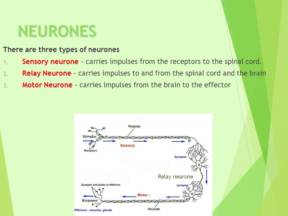 NEURONES There are three types of neurones